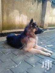 Senior Male Purebred German Shepherd Dog | Dogs & Puppies for sale in Central Region, Kampala