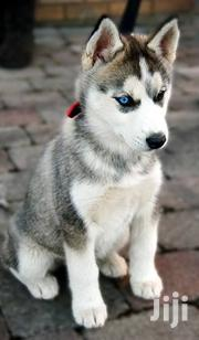 Young Male Purebred Siberian Husky | Dogs & Puppies for sale in Central Region, Kampala