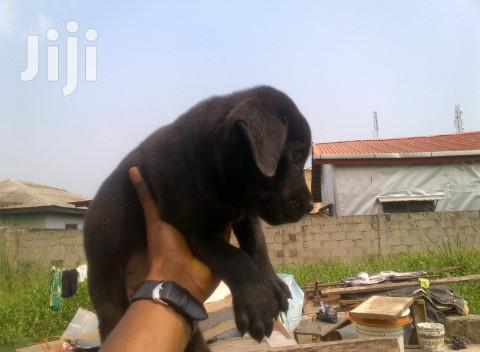 Baby Male Purebred Boerboel | Dogs & Puppies for sale in Kampala, Central Region, Uganda