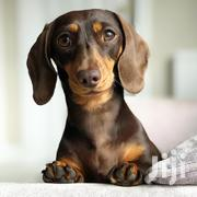 Adult Female Purebred Dachshund | Dogs & Puppies for sale in Central Region, Kampala