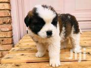 Young Female Purebred Saint Bernard | Dogs & Puppies for sale in Central Region, Kampala