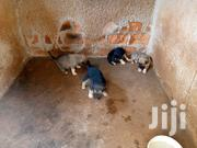 Baby Male Mixed Breed Mongrel | Dogs & Puppies for sale in Central Region, Kampala