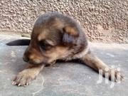 Young Female Mixed Breed German Shepherd Dog | Dogs & Puppies for sale in Central Region, Wakiso