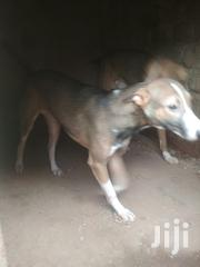 Young Male Mixed Breed Mongrel (No Breed) | Dogs & Puppies for sale in Central Region, Kampala
