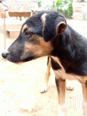 Young Male Mixed Breed German Shepherd Dog | Dogs & Puppies for sale in Central Region, Kampala