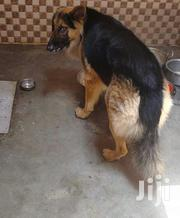 Adult Female Purebred German Shepherd Dog | Dogs & Puppies for sale in Central Region, Kampala