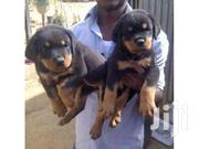 Rottweiler Active Pure Breed Puppies | Dogs & Puppies for sale in Central Region, Kampala