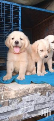 Young Male Purebred Golden Retriever | Dogs & Puppies for sale in Central Region, Kampala