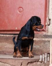 Senior Male Purebred Rottweiler | Dogs & Puppies for sale in Central Region, Mukono