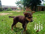 Young Male Mixed Breed German Shepherd | Dogs & Puppies for sale in Central Region, Wakiso