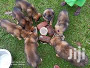 Young Male Mixed Breed German Shepherd | Dogs & Puppies for sale in Central Region, Kampala