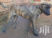 Young Male Mixed Breed Boerboel | Dogs & Puppies for sale in Central Region, Kampala