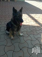 Adult Female Purebred German Shepherd | Dogs & Puppies for sale in Central Region, Wakiso