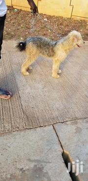 Young Male Purebred Old English Sheepdog | Dogs & Puppies for sale in Central Region, Kampala