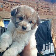 Baby Female Mixed Breed Maltese | Dogs & Puppies for sale in Eastern Region, Busia