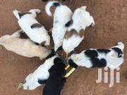 Young Male Mixed Breed Maltese | Dogs & Puppies for sale in Central Region, Kampala