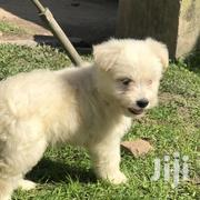 Baby Male Purebred Maltese | Dogs & Puppies for sale in Central Region, Wakiso