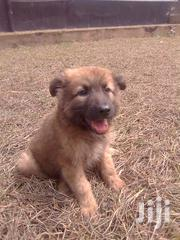Young Male Purebred German Shepherd | Dogs & Puppies for sale in Central Region, Kampala