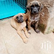 Young Female Purebred Boerboel | Dogs & Puppies for sale in Central Region, Kampala