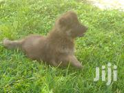 Young Male Mixed Breed German Shepherd | Dogs & Puppies for sale in Central Region, Mpigi