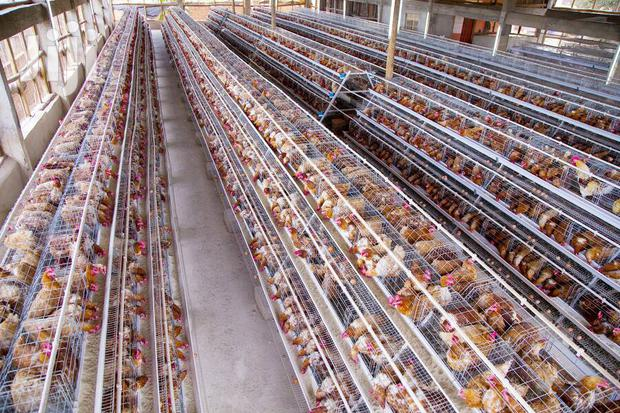 Archive: Chicken Cages At 1.2m