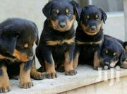 Rottweiler Healthy And Original Puppies | Dogs & Puppies for sale in Central Region, Kampala